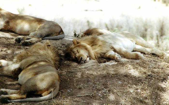 Sovande unga lejonhannar.
