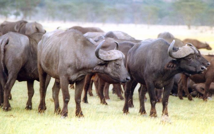 Afrikanska bufflar i Nakurureservatet, Kenya.